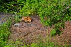 Fox rosso di sonno (vulpes di vulpes) Immagini Stock Libere da Diritti