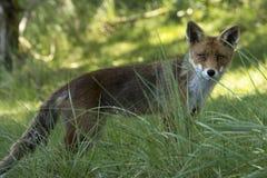 Fox rosso in erba Fotografie Stock Libere da Diritti
