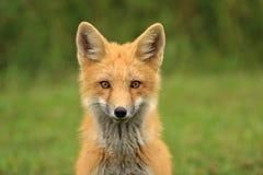 Fox rosso Kit Head Portrait, PEI, Canada Immagine Stock