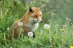 Fox rosso nei denti di leone Immagine Stock