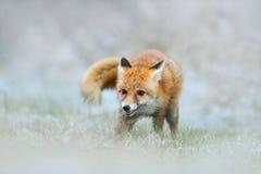 Fox rosso nell'inverno della neve, cercante animil nell'erba nevosa, la Francia Immagine Stock