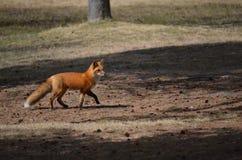 Fox rosso nella regolazione di primavera Immagini Stock Libere da Diritti