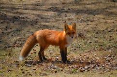 Fox rosso nella regolazione di primavera Immagine Stock