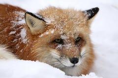 Fox rosso in neve Immagini Stock Libere da Diritti