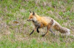 Fox rosso. Parco nazionale di Yellowstone fotografie stock libere da diritti