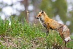 Fox rosso. Parco nazionale di Yellowstone fotografia stock libera da diritti