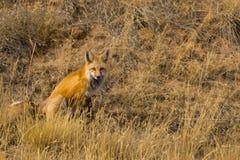 Fox rosso su Hillside immagine stock libera da diritti