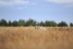 Fox rosso sulla roccia Immagini Stock Libere da Diritti