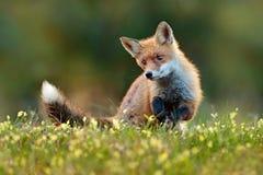 Fox rosso sveglio, vulpes di vulpes animale della foresta di caduta nel bello nell'habitat della natura Scena della fauna selvati immagini stock