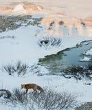 Fox rosso. Vulpes del Vulpes Fotografie Stock Libere da Diritti