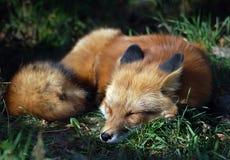 Fox rosso (vulpes del Vulpes) Fotografie Stock Libere da Diritti