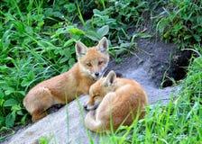 Fox rosso (vulpes del Vulpes) Fotografia Stock Libera da Diritti