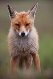 Fox rouge Images libres de droits