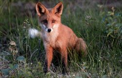 Fox rouge images stock