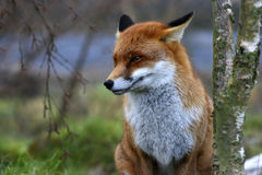 Fox rouge Photos libres de droits