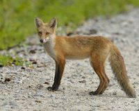 Fox rouge Photographie stock