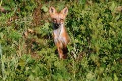 Fox rouge Photos libres de droits