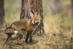 Fox rouge Photo libre de droits