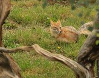 Fox rouge Photographie stock