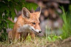 Fox rouge Photo libre de droits