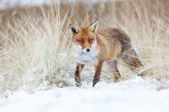 Fox rouge Photo stock