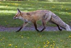 Fox rouge adulte femelle Image stock