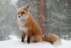 Fox rouge commun dans la tempête de neige image stock