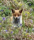 Fox rouge CUB dans les jacinthes des bois photographie stock