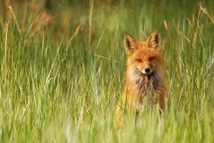 Fox rouge dans l'herbe Photo libre de droits