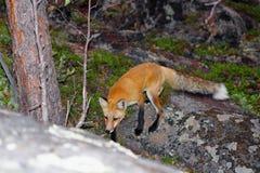 Fox rouge dans la forêt boréale près de Yellowknife, Territoires du nord-ouest photographie stock libre de droits