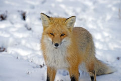 Fox rouge dans la neige regardant l'appareil-photo Photos stock