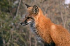Fox rouge dans le profil dans les bois Images libres de droits