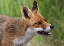 Fox rouge découvrant des dents Photographie stock libre de droits