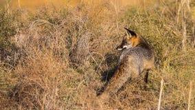 Fox rouge de Melanistic image libre de droits