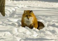 Fox rouge en hiver Image libre de droits
