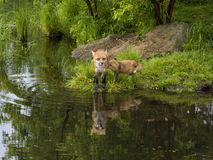 Fox rouge et kit Photographie stock