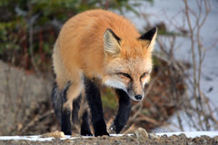 Fox rouge marchant par la neige Photo libre de droits