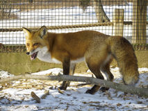 Fox rouge - Mis en cage photos libres de droits