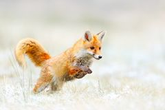Fox rouge sautant, vulpes de Vulpes, scène de faune de l'Europe Chasse animale de manteau de fourrure orange dans l'habitat de na image libre de droits