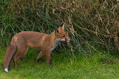 Fox rouge simple (Canidae de vulpes de Vulpes) Image libre de droits