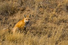 Fox rouge sur Hillside image libre de droits