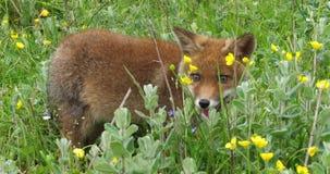 Fox rouge, vulpes de vulpes, chiot marchant dans le pré avec les fleurs jaunes, Normandie en France, mouvement lent banque de vidéos