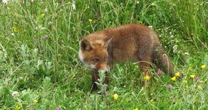 Fox rouge, vulpes de vulpes, chiot marchant dans le pré avec les fleurs jaunes, Normandie en France, mouvement lent clips vidéos