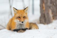 Fox rouge - vulpes de Vulpes, spécimen en bonne santé dans son habitat dans les bois photo stock
