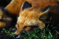 Fox rouge (vulpes de Vulpes) Image libre de droits