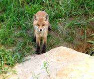 Fox rouge (vulpes de Vulpes) Photos libres de droits