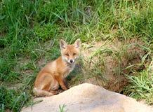 Fox rouge (vulpes de Vulpes) Photographie stock libre de droits