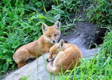 Fox rouge (vulpes de Vulpes) photo libre de droits