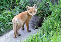 Fox rouge (vulpes de Vulpes) Photographie stock libre de droits