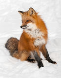 Fox rouge (vulpes de Vulpes) se repose dans la neige Photo stock